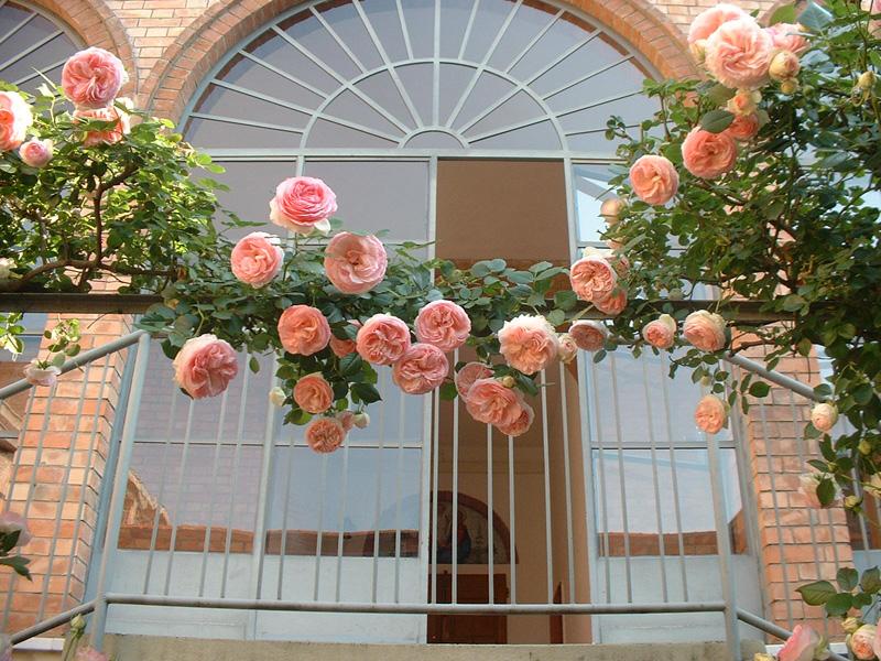 Rose rosa rampicanti su una scalinata
